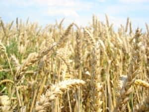 grain-weed-1364304